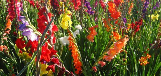 Großhandel Blumenzwiebeln Gladiolen großblütrige Sorten