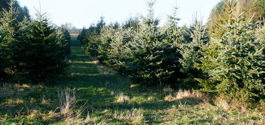 Weihnachtsbaum, Tannenbaum mehrere 1000 Stück kaufen