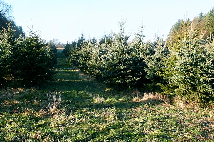 Weihnachtsbaum, Tannenbaum